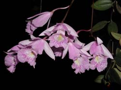 http://www.orchideen.com/fotogalerie/C/thumbnails/cattleyopsis_lindenii_cd.jpg